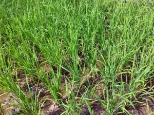 rice-baby-plant