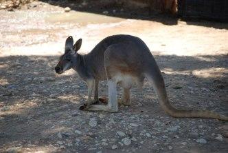 kangaroo-in-australian-zoo